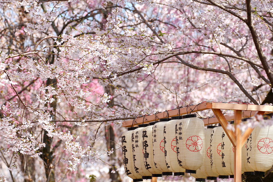 Springtime in Japan: Cherry Blossoms, Hot Springs and More!